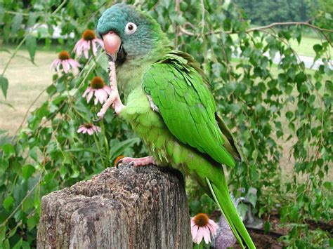 blue green parrot parrot birds wallpapers