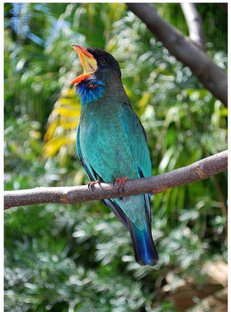 Burung Tengkek Buto tengkek buto sang master burung murai burung master