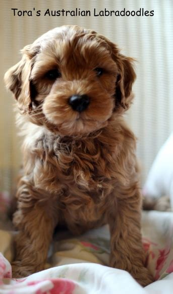 labradoodles puppies for sale perth summer s pups tora s labradoodles