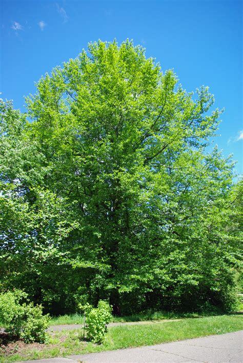 tree image file nyssa sylvatica tree jpg