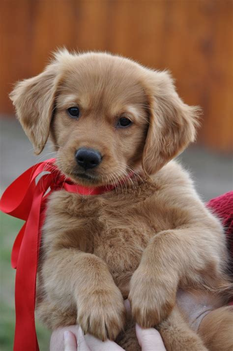 golden retriever puppy best 25 retriever puppies ideas on retriever