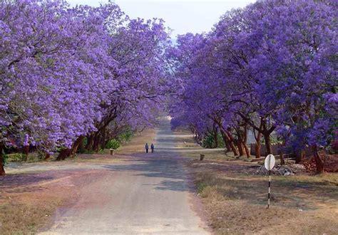 blue jacaranda jacaranda mimosifolia tree bonsai bulk
