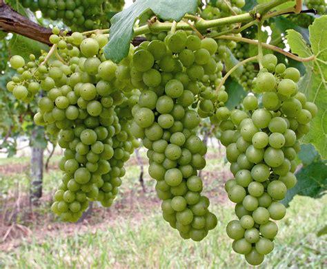 grape varieties waiheke island of wine