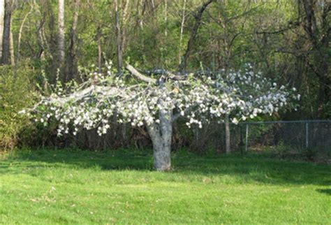 pruning overgrown fruit trees an apple tree returns to its former all about