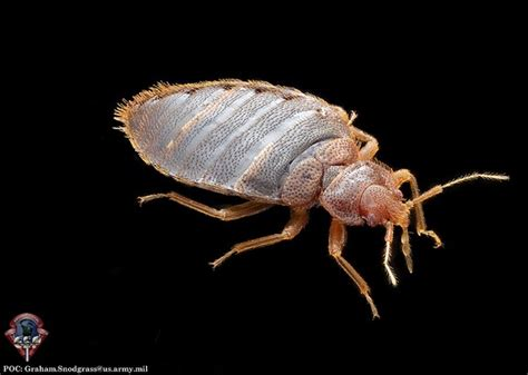 bean leaves bed bugs bean leaves don t let the bedbugs bite by using tiny