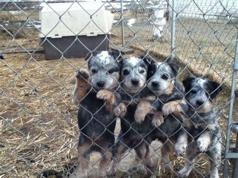 blue heeler puppies colorado blue heeler pups fauna is my co pilot