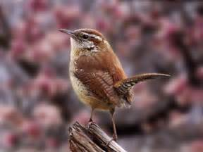 birds carolina wren