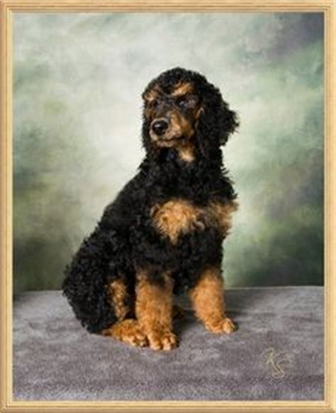 colebrook golden retrievers 1000 images about gsd poodle and other pet stuff on purebred dogs