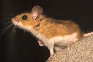 deer mouse info photo 3