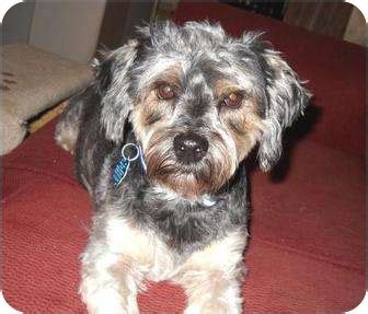 yorkie and miniature poodle mix bam bam adopted conroe tx yorkie terrier poodle miniature mix