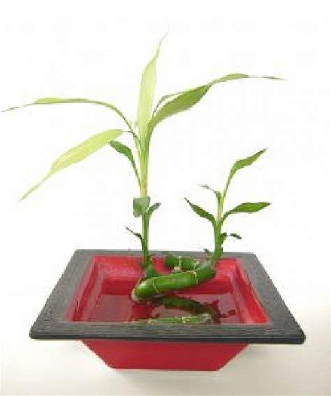bamboo in vaso bamboo in vaso scaricare foto gratis