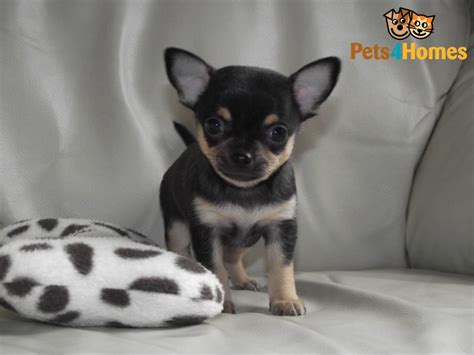 black and chihuahua puppies chihuahua puppies black so so all sold leigh greater manchester pets4homes