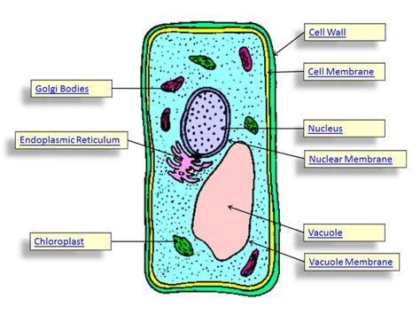 diagram of typical plant cell plant cell diagrams diagram site