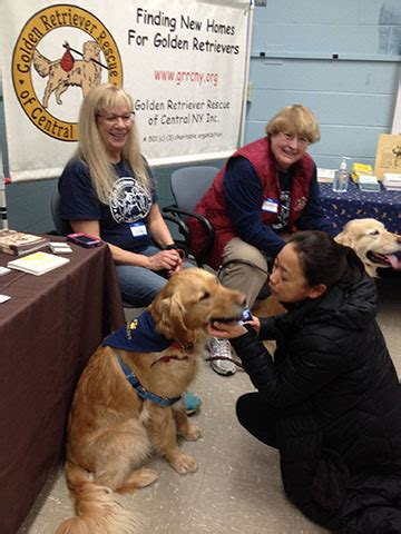 golden retriever rescue nyc golden retriever rescue of central new york breeds picture