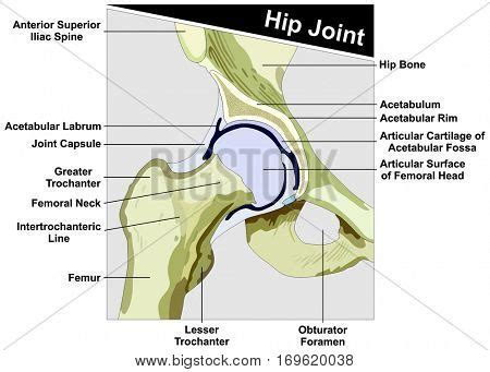diagram of hip joint hip joint anatomy diagram vector photo bigstock