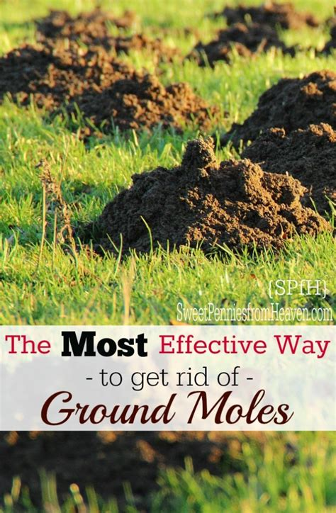 how to get rid of moles in the backyard how to get rid of ground moles the most effective way