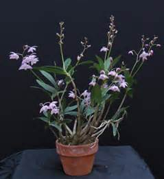 Flowers Growing In Water - dendrobium kingianum presented by orchids limited