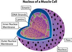 mcat cell biology  flashcards quizlet