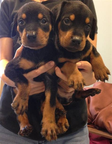 doberman rottweiler mix puppies for sale doberman pinscher rottweiler puppies sold 5 years doberman mix rottweiler from