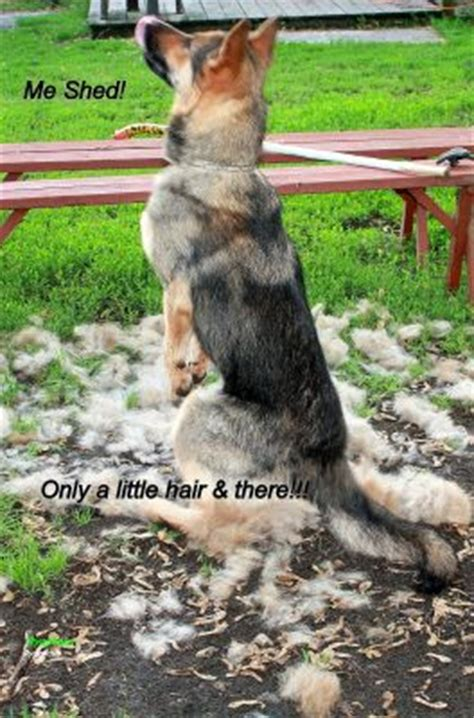 Do German Shepherds Shed by Looking For How Much Do German Shepherds Shed Frank C