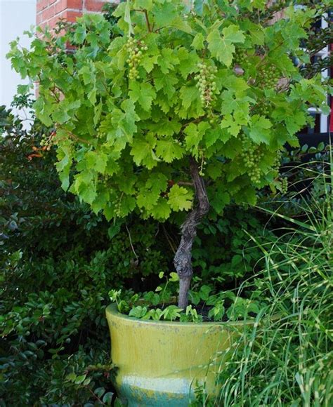backyard grow growing grapes in containers how to grow grapes in pots
