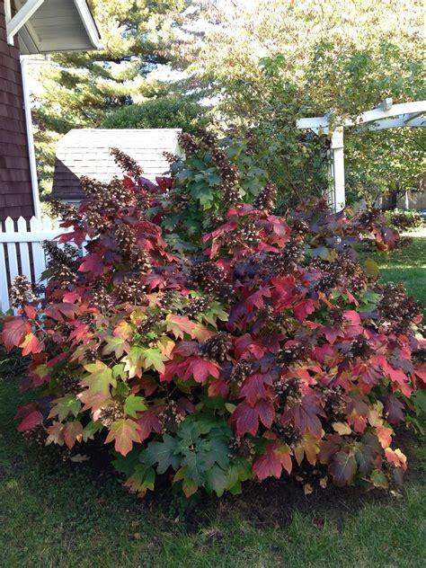 Oakleaf Hydrangea Winter | www.pixshark.com - Images ... Oak Leaf Hydrangeas In Winter