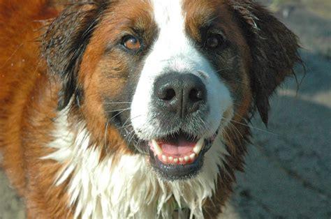 bernard mix puppies bernese mountain bernard mix puppies