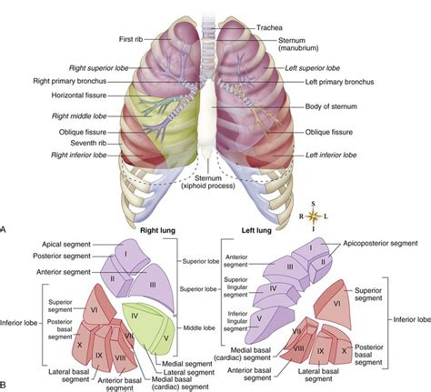 lungs definition location anatomy function diagram lungs definition location anatomy function diagram