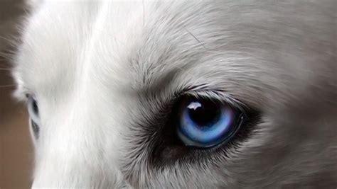 husky con occhi diversi la vista ambulatorio veterinario e consultorio