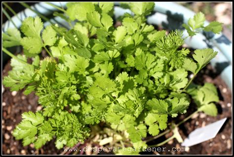 growing cilantro desperate gardener
