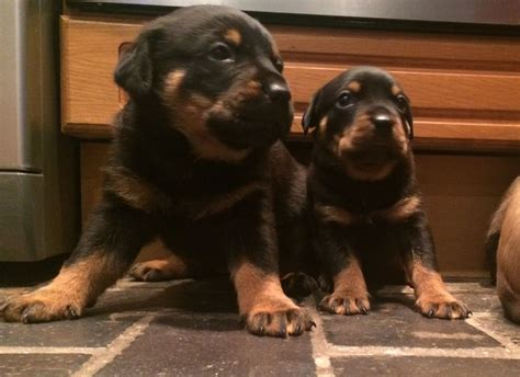 rottweiler puppies for sale in bc ridgeback x rottweiler puppies for sale stoke on trent staffordshire pets4homes