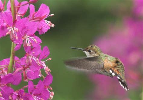 hummingbird approach