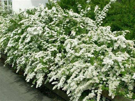 pianta sempreverde con fiori siepi con fiori siepi come realizzare siepi con fiori