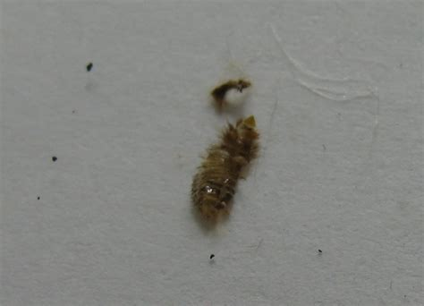 bed bug cast skins please identify a cast skin a beetle larva 171 got bed
