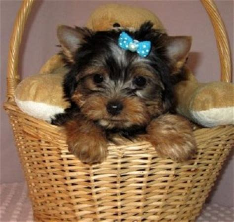 yorkies for sale in baton dogs baton la free classified ads