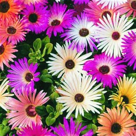 fiori da giardino pieno sole mesembriantemo html bavicchi