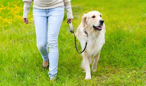 how to to walk on leash properly leash your golden retriever for no more pulling