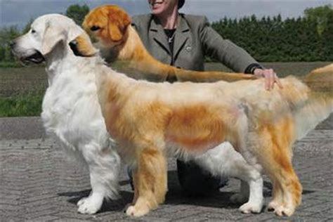 difference between and american golden retrievers breed history
