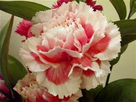 wallpaper bunga peach bunga carnation pink bercorak putih gardening