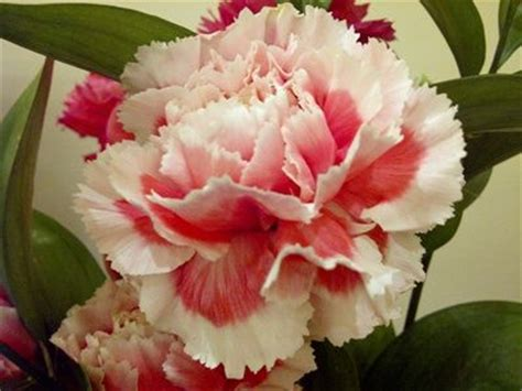 wallpaper bunga carnation bunga carnation pink bercorak putih gardening
