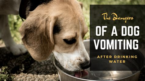 puppy vomiting after the dangers of a vomiting after water
