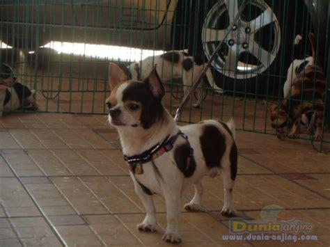 Jasa Pacak dunia anjing pejantan anjing chihuahua stud service