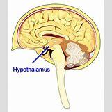 Hypothalamus   296 x 350 jpeg 43kB