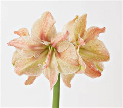 november flower of the month amaryllis floral blog november 2009 the buzz blog diane james home
