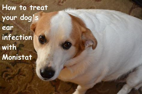 yeast in dogs search results for yeast contamination therapy for dogs yeast infection tips