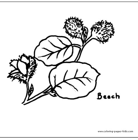 beech tree coloring page beech leaves color page