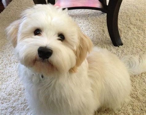 havanese puppy haircuts pictures of havanese haircuts breeds picture