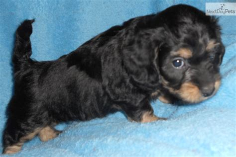 doxiepoo puppies for sale dachshund mini puppy for sale near springfield missouri 955026d7 1031