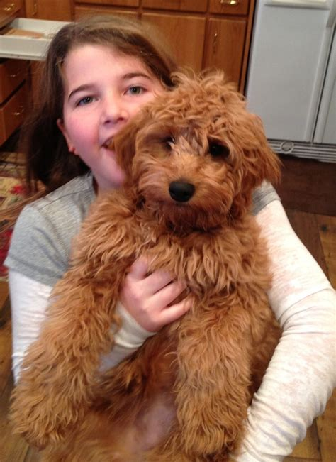 mini goldendoodle mini goldendoodle fb1 some call them teddybear