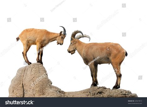 goats and rams isolated brown goat ram on hill stock photo 24927815